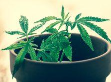 鉢植えの大麻