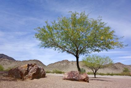 アリゾナの砂漠に生えるメスキート