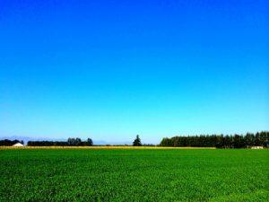 若い小麦フリーカの畑