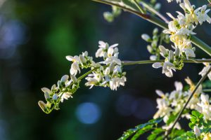 モリンガの花