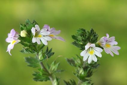 アイブライトの花