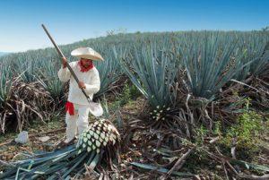 アガベの収穫